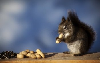 Animalia - Squirrel Wallpapers and Backgrounds ID : 488164