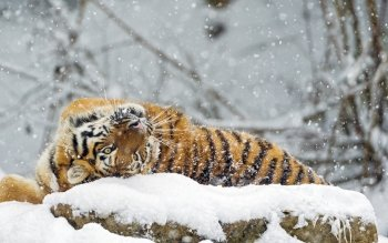 Tier - Tiger Wallpapers and Backgrounds ID : 488175