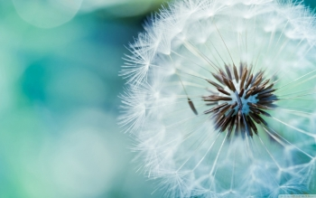 Earth - Dandelion Wallpapers and Backgrounds ID : 489527