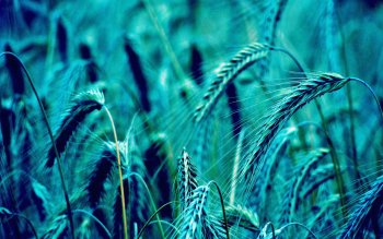 Earth - Wheat Wallpapers and Backgrounds ID : 491028