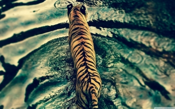Animalia - Tigre Wallpapers and Backgrounds ID : 495977