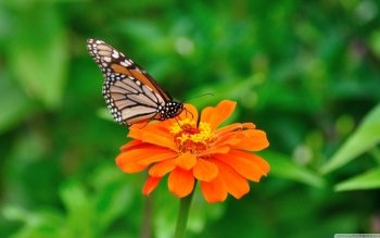 Animal - Butterfly Wallpapers and Backgrounds ID : 497099