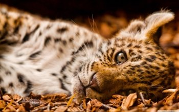 Animalia - Leopard Wallpapers and Backgrounds ID : 498030