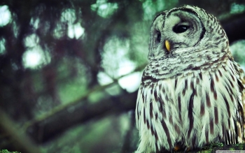 Animal - Owl Wallpapers and Backgrounds ID : 498768