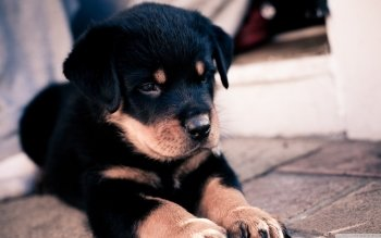Animal - Rottweiler Wallpapers and Backgrounds ID : 498770
