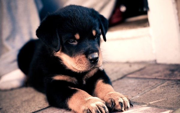 Animal Rottweiler Dogs Dog Pet Puppy Baby Animal HD Wallpaper | Background Image