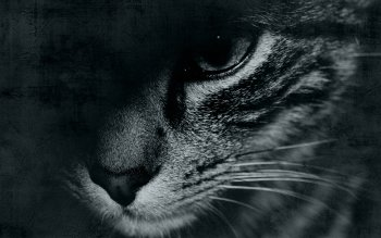 Animalia - Gato Wallpapers and Backgrounds ID : 499892