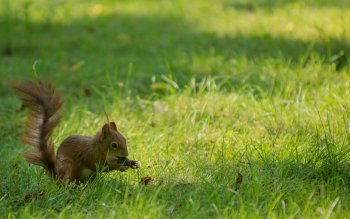 Animal - Squirrel Wallpapers and Backgrounds ID : 500275