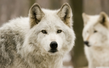 Animal - Wolf Wallpapers and Backgrounds ID : 501219