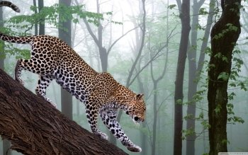 Animalia - Leopard Wallpapers and Backgrounds ID : 501364