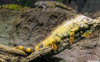 Animal - Iguana Wallpapers and Backgrounds ID : 501365