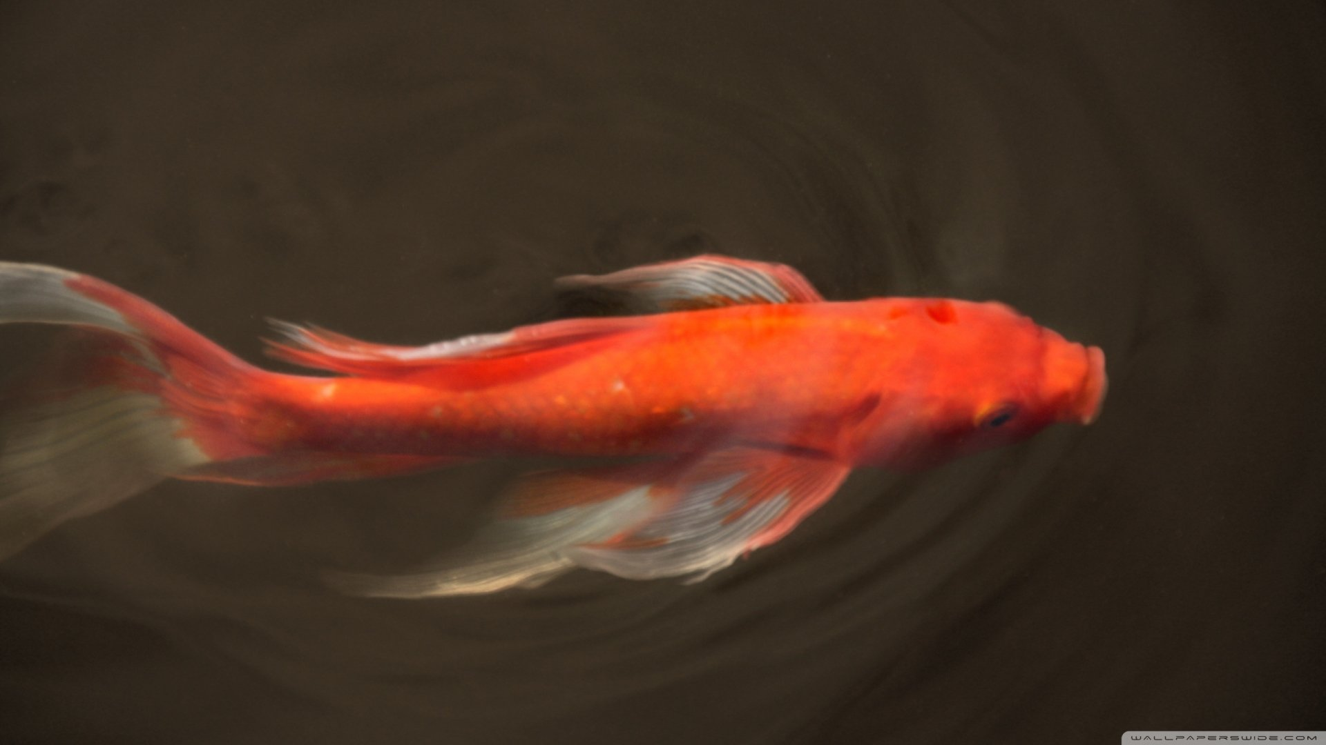 Koi full hd wallpaper and background image 2560x1440 for Koi fish background