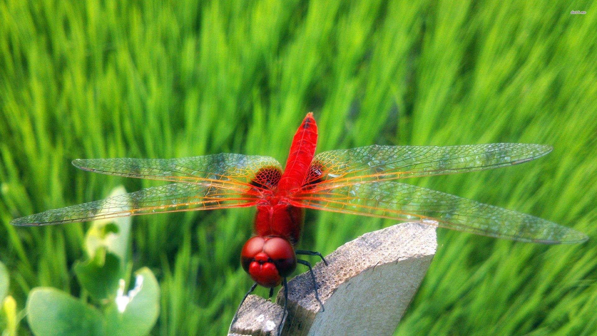 Animal - Dragonfly  Wallpaper