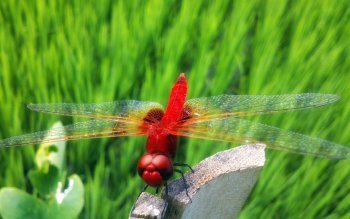 Animal - Dragonfly Wallpapers and Backgrounds ID : 503827