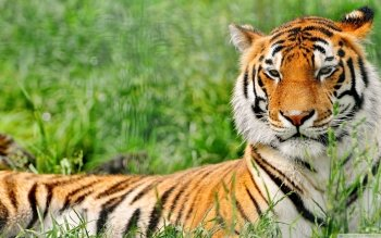 Animal - Tiger Wallpapers and Backgrounds ID : 504510