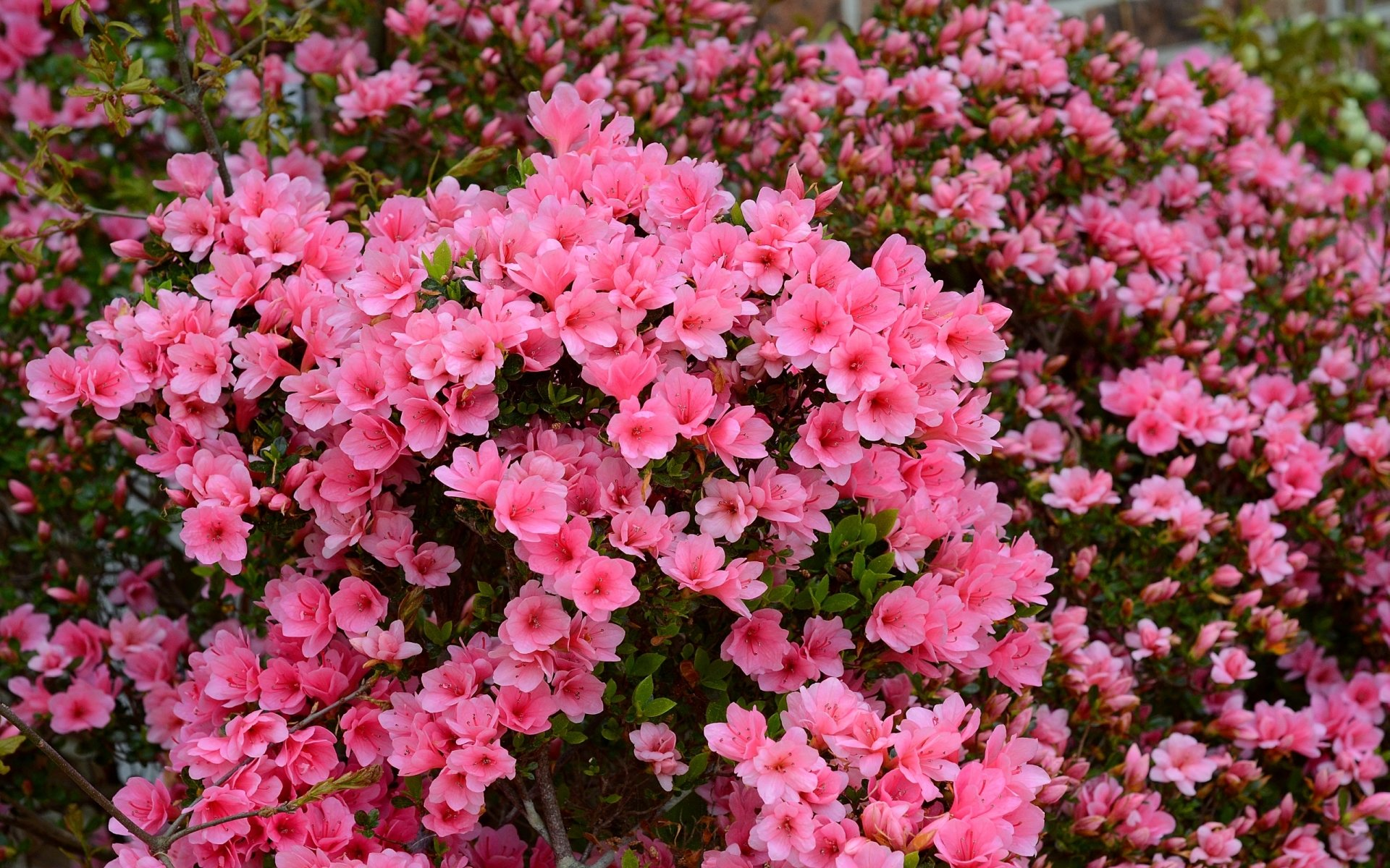 Earth - Azalea  Flower Wallpaper