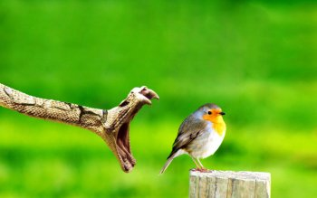 Animal - Robin Wallpapers and Backgrounds ID : 511422
