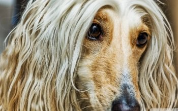 Animal - Afghan Hound Wallpapers and Backgrounds ID : 520579
