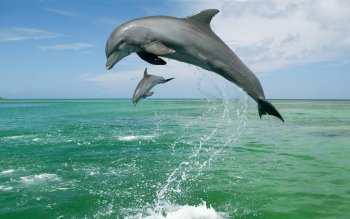 Animal - Bottlenose Dolphin Wallpapers and Backgrounds ID : 521160