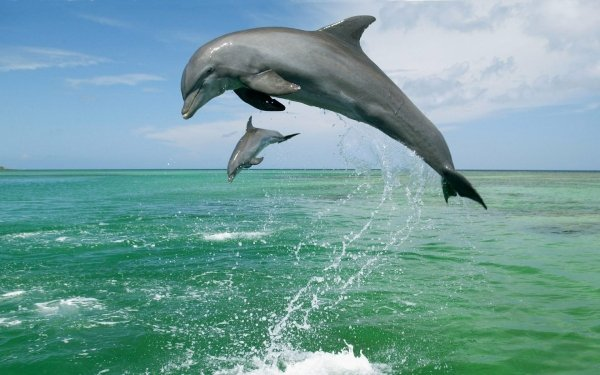 Animal Bottlenose Dolphin Dolphin HD Wallpaper | Background Image