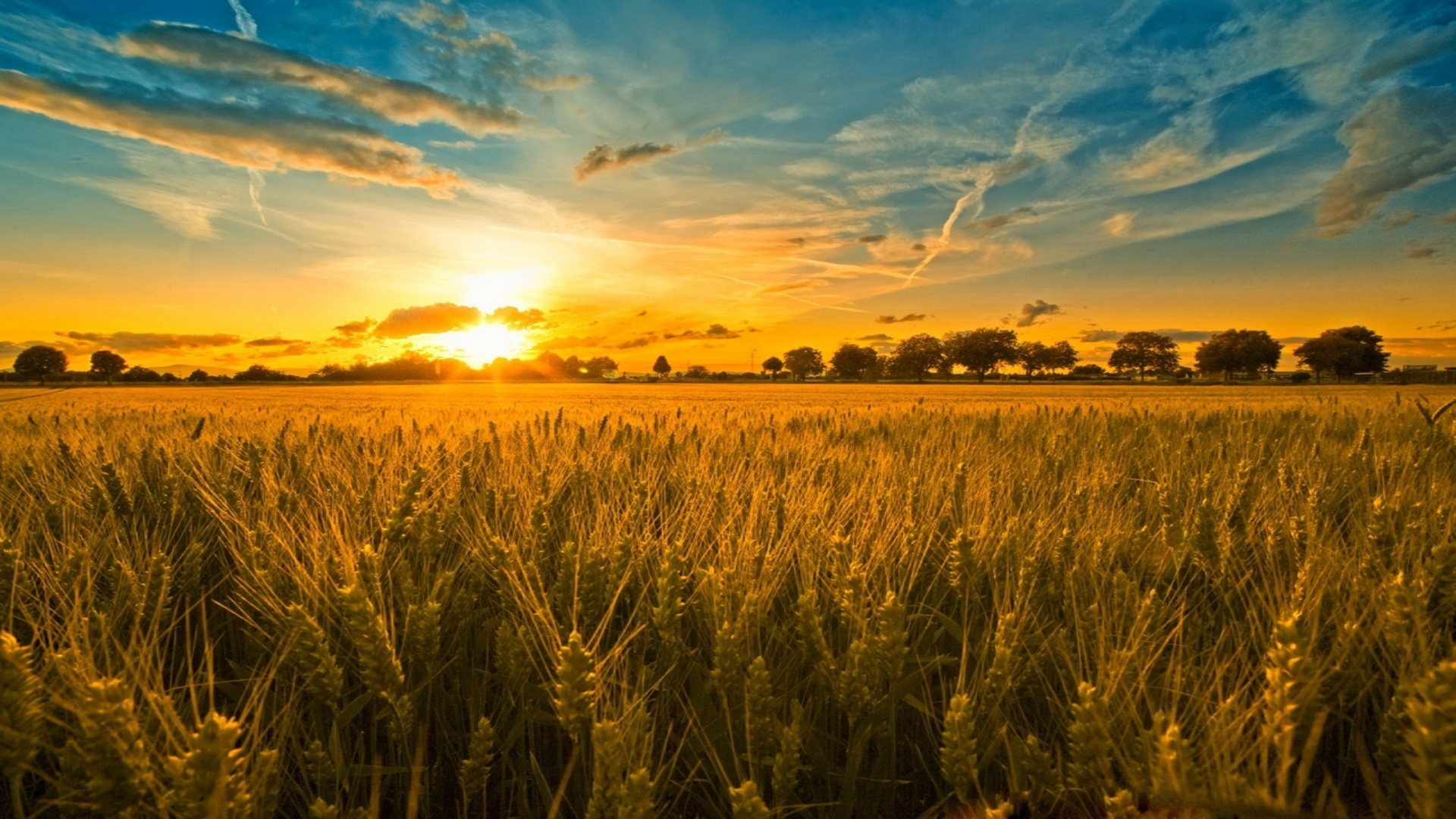 Cornfield Full HD Wallpaper and Background | 1920x1080 ...