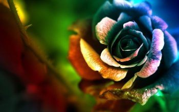 Earth - Rose Wallpapers and Backgrounds ID : 522710