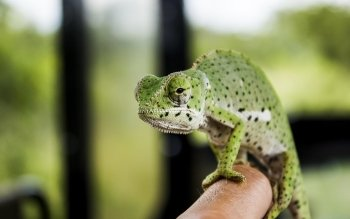 Animal - Chameleon Wallpapers and Backgrounds ID : 523569