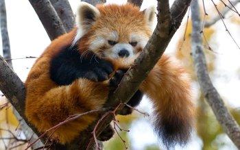 Animaux - Panda Roux Fonds d'écran et Arrière-plans ID : 523782