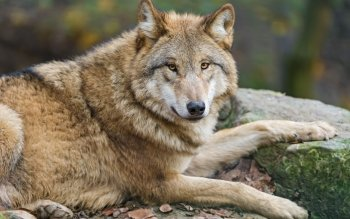 Animal - Wolf Wallpapers and Backgrounds ID : 524458