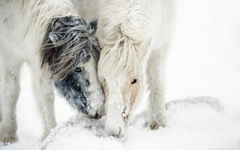 Animal - Horse Wallpapers and Backgrounds ID : 528076