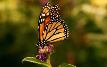 Animal - Butterfly Wallpapers and Backgrounds ID : 529834