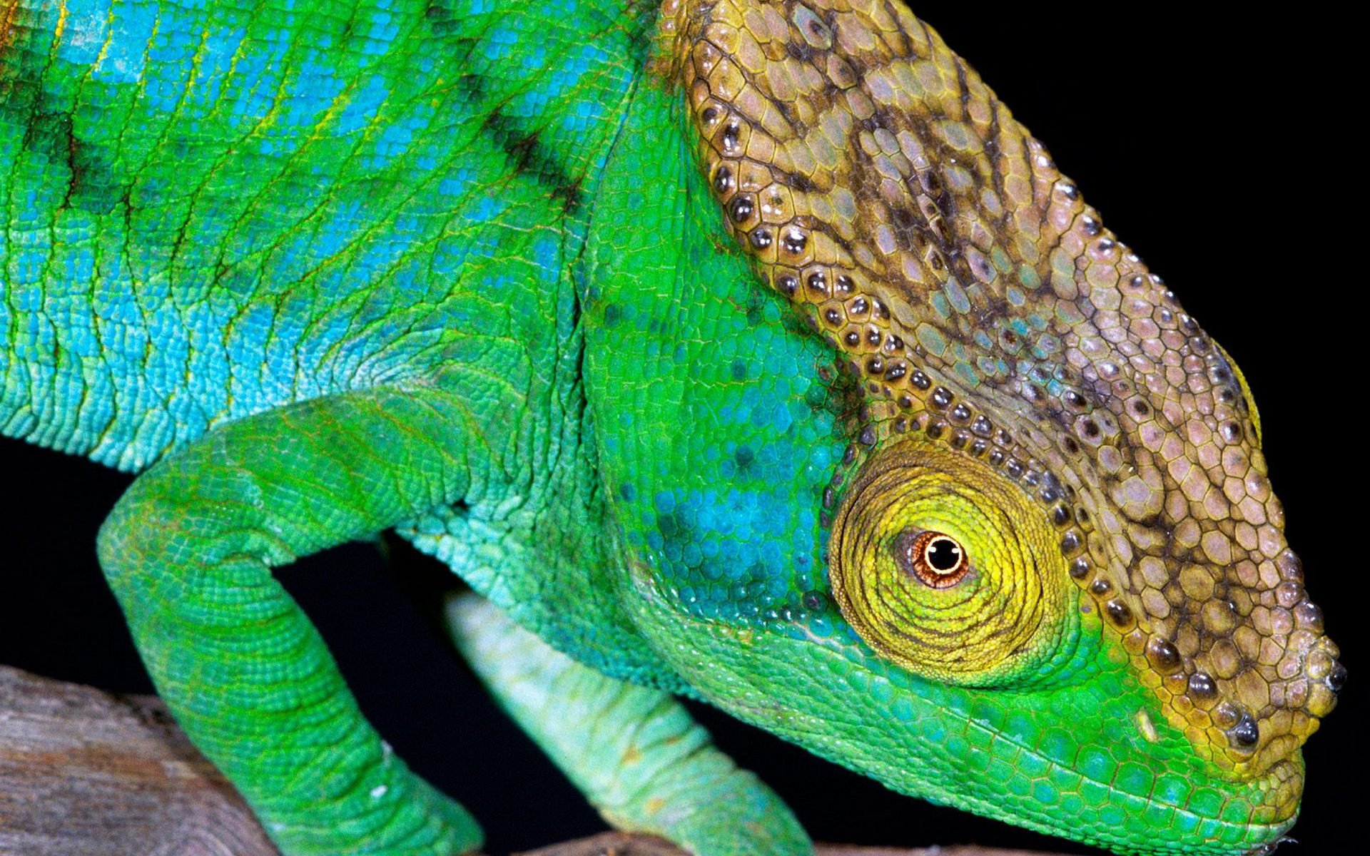 chameleon wallpaper 1920x1200 - photo #6