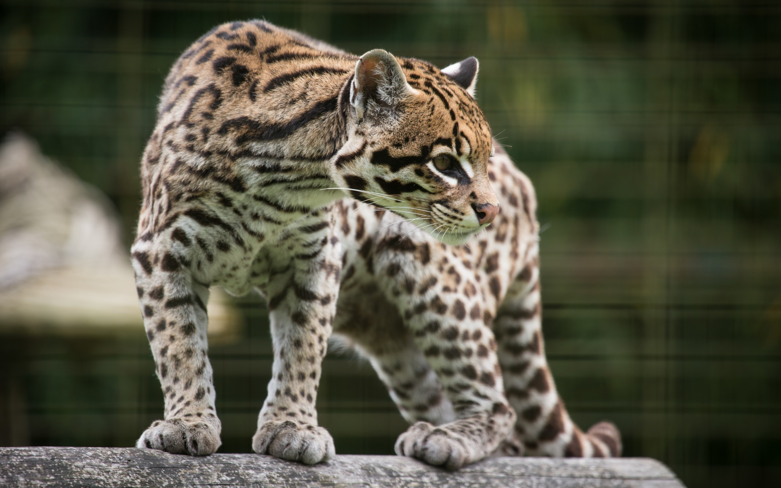 21 Ocelot Hd Wallpapers Background Images Wallpaper Abyss