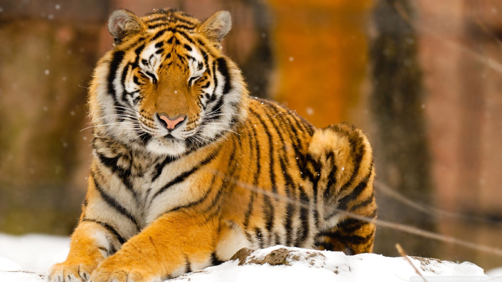 tiger full hd wallpaper and background image | 1920x1080 | id:540994