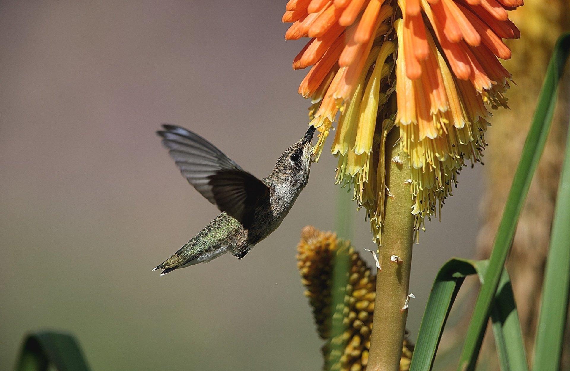 Animal - Hummingbird  Flight Wallpaper