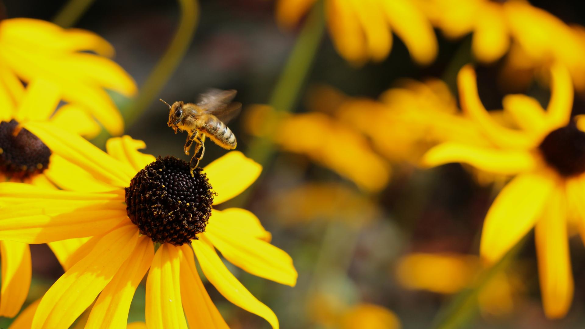 Busy Bee HD Wallpaper