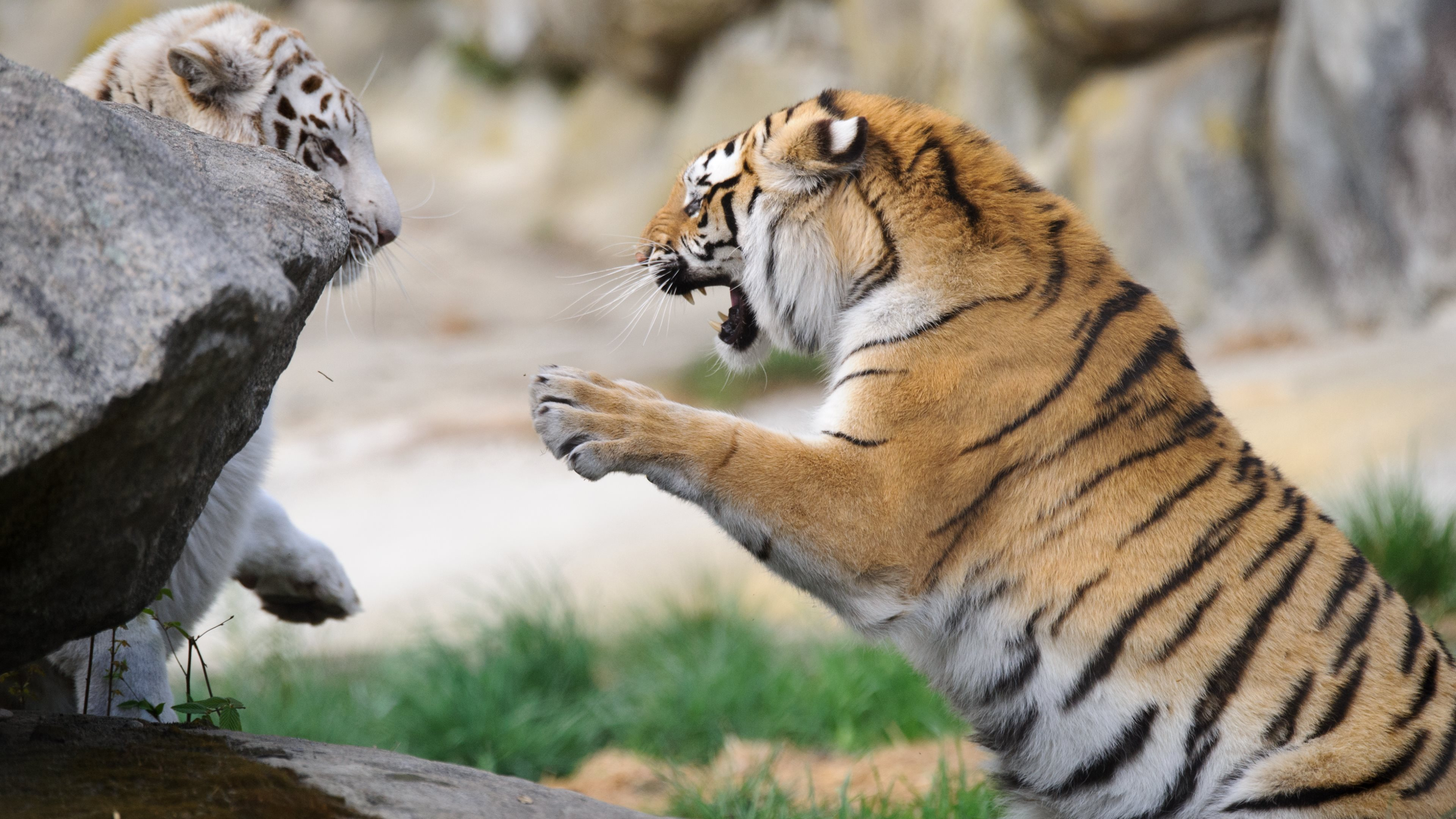 Wild Animal 4k Hd Desktop Wallpaper For 4k Ultra Hd Tv: Tiger 4k Ultra HD Wallpaper