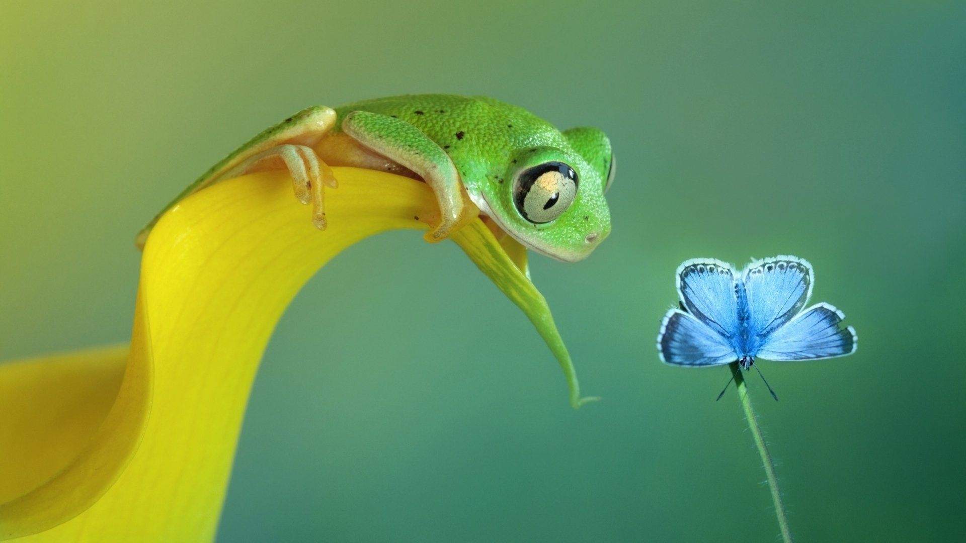 Animal - Frog  Animal Butterfly Green Leaf Wallpaper