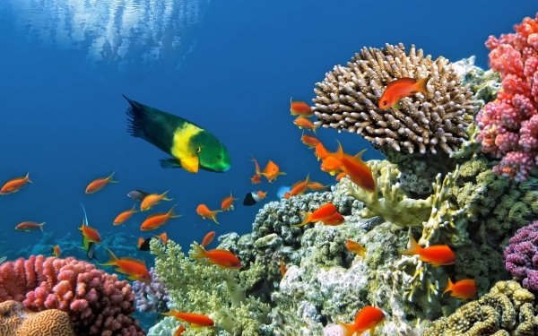 Animal Fish Fishes Coral Reef Underwater HD Wallpaper   Background Image