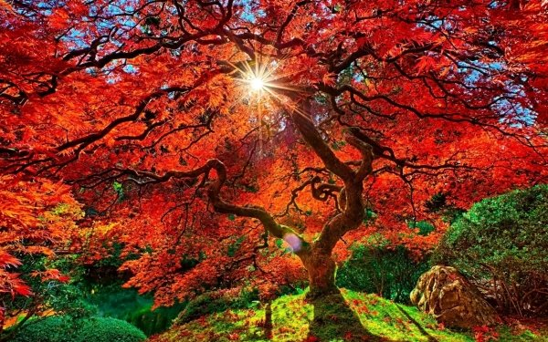 Man Made Japanese Garden Tree Fall Sunbeam Garden Foliage orange Sunshine HD Wallpaper | Background Image
