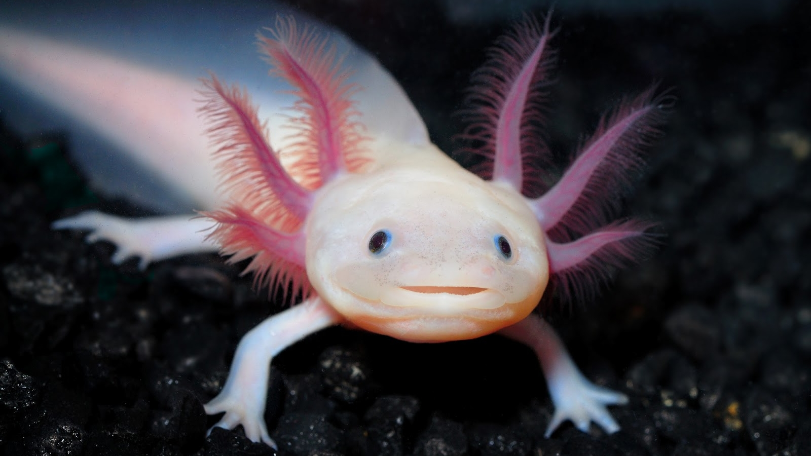 2 Axolotl HD Wallpapers | Background Images - Wallpaper Abyss