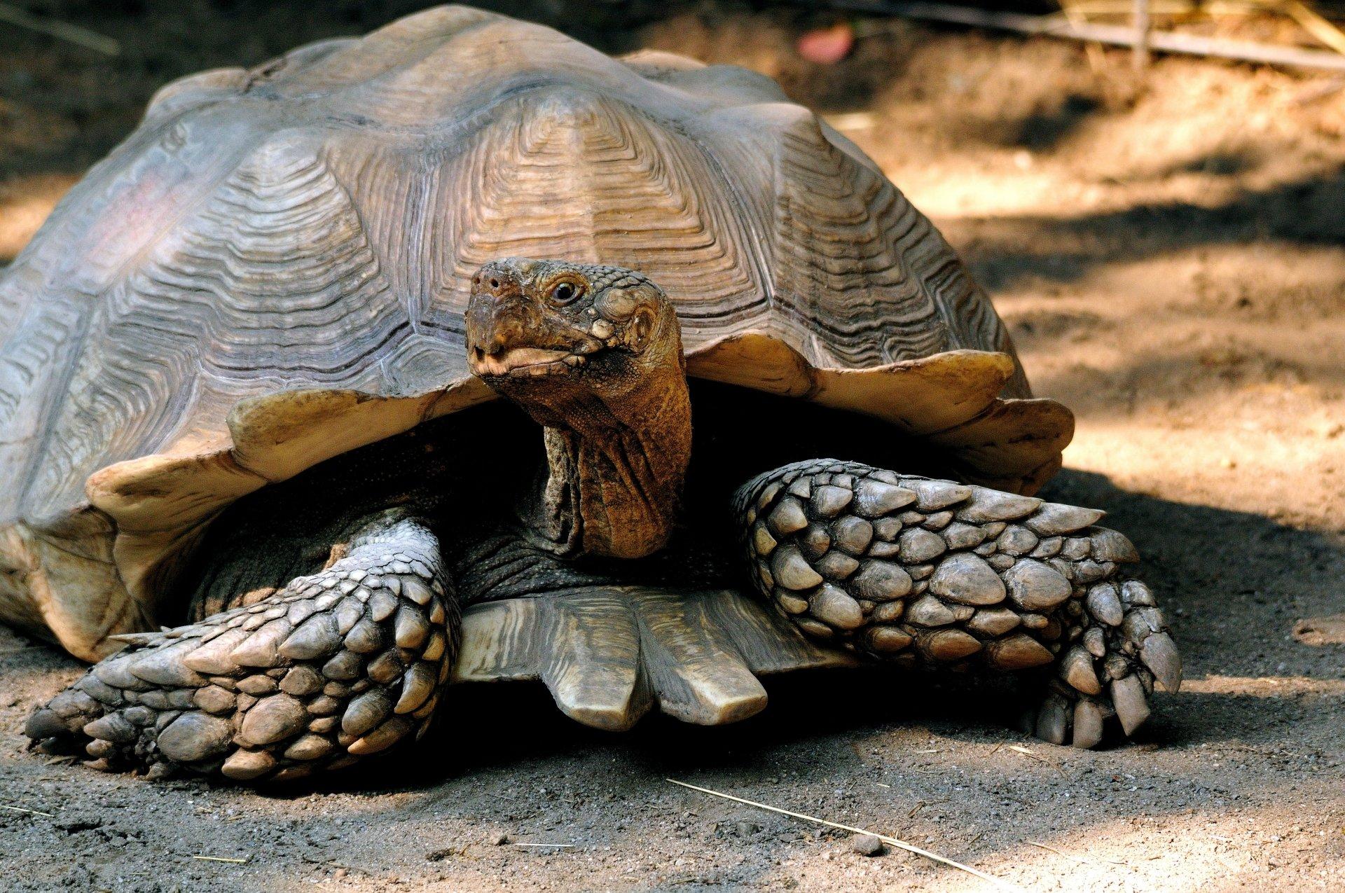 African spurred tortoise 4k ultra papel de parede hd for Tartarughe grandi