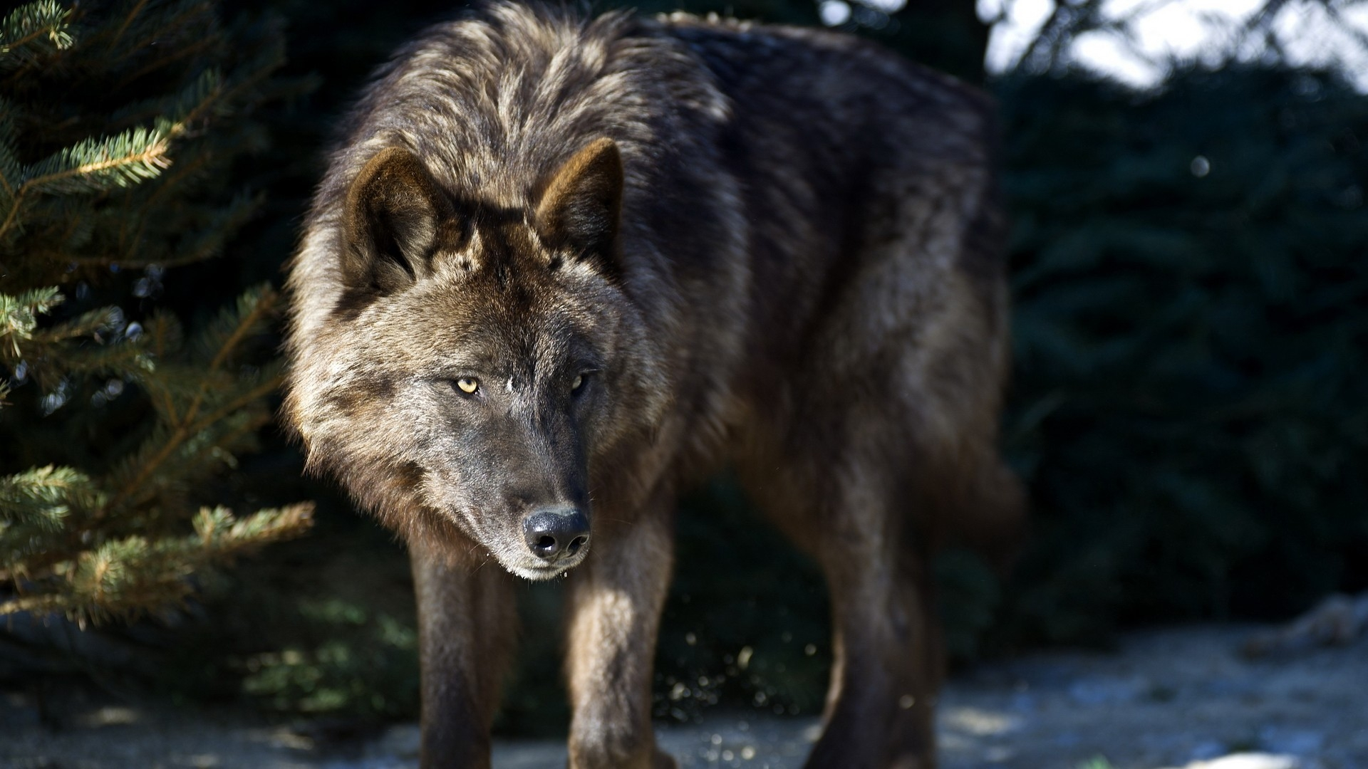 wolf wallpapers ndash animal - photo #20