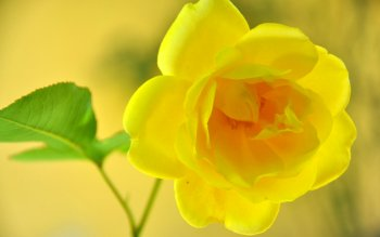 24 Yellow Rose Hd Wallpapers Background Images Wallpaper Abyss