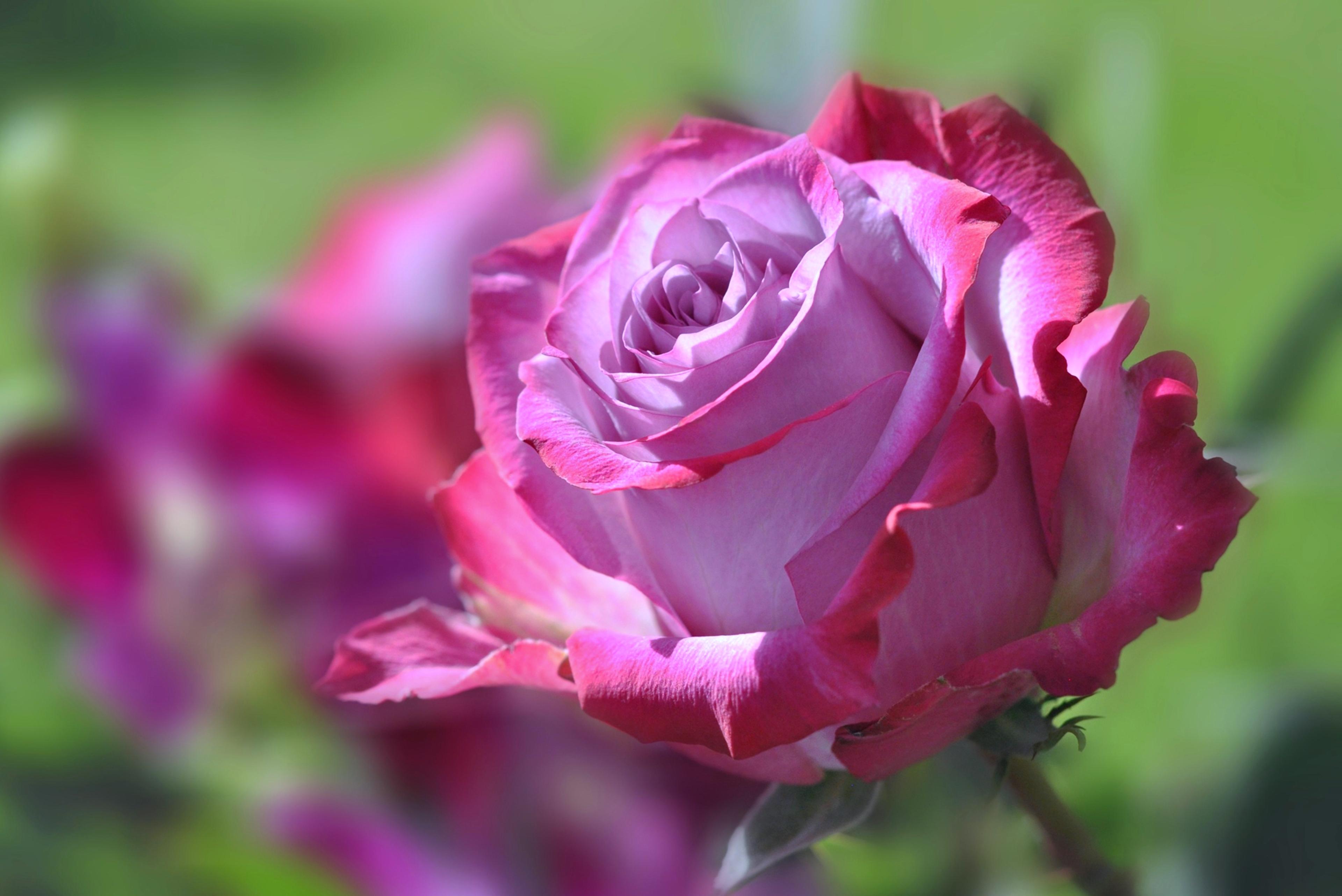 Beautiful rose 4k ultra hd wallpaper background image - Big rose flower wallpaper ...