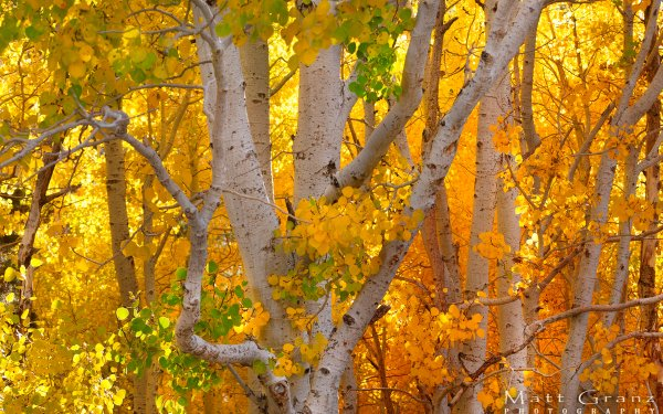 Earth Fall Tree Foliage Forest Birch Leaf Colors HD Wallpaper | Background Image