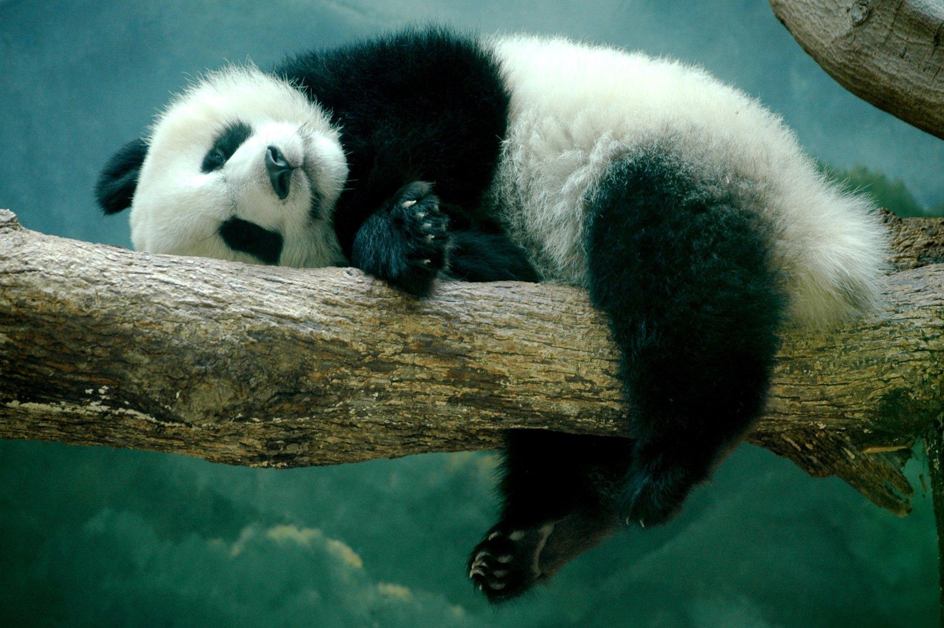 Panda Full HD Fond d'écran and Arrière-Plan   2707x1800   ID:588525