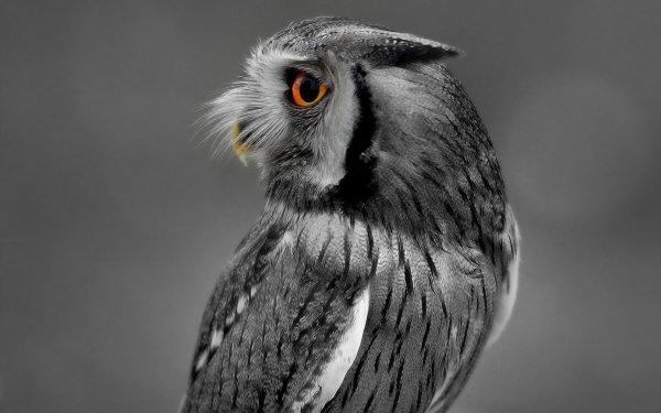 Animal Owl Birds Owls HD Wallpaper | Background Image