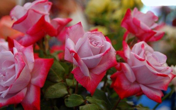 Earth Rose Flowers Flower Garden Spring HD Wallpaper   Background Image