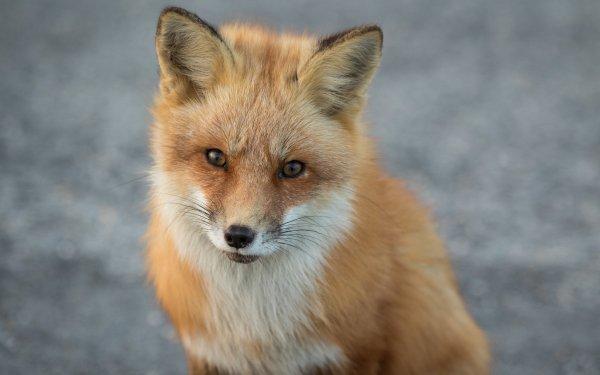 Animal Fox HD Wallpaper   Background Image